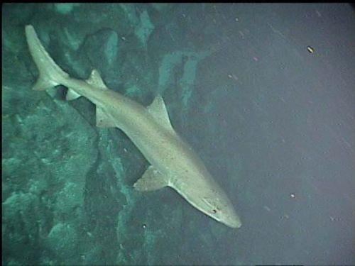 Sand Tiger Shark | Odontaspis ferox photo