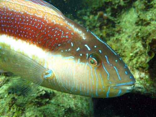Maori Wrasse | Ophthalmolepis lineolatus photo