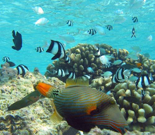 Orange-lined Triggerfish   Balistapus undulatus photo
