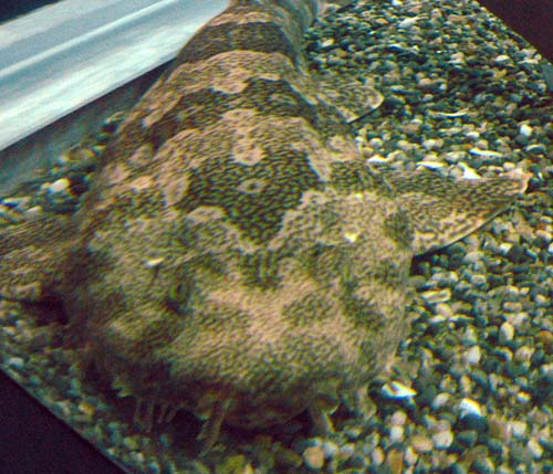 Banded Wobbegong | Orectolobus ornatus photo