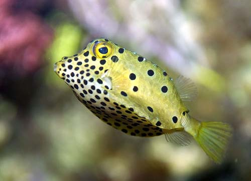 Yellow Boxfish | Ostracion cubicus photo