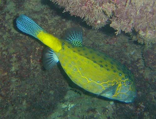 Yellow Boxfish   Ostracion cubicus photo