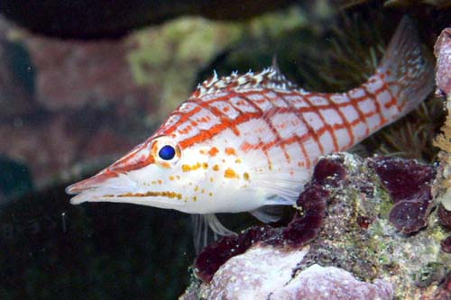 Longnose Hawkfish | Oxycirrhites typus photo