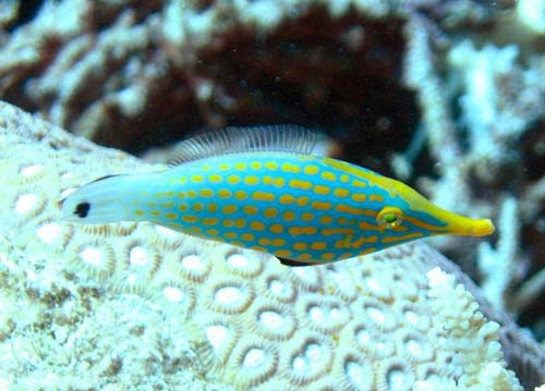 Beaked Leatherjacket | Oxymonacanthus longirostris photo