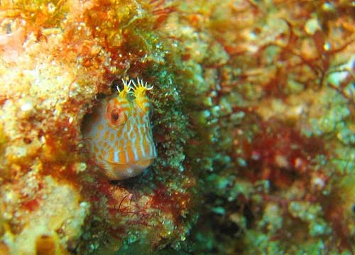 Horned Blenny | Parablennius intermedius photo