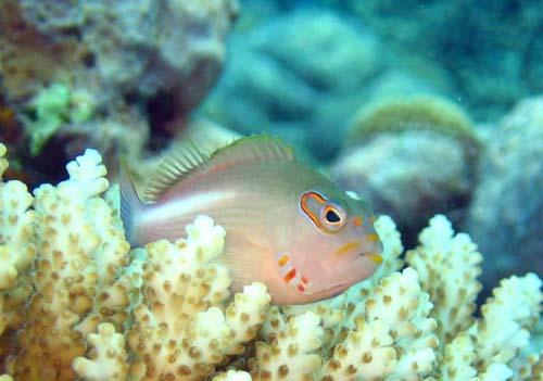 Ringeye Hawkfish | Paracirrhites arcatus photo