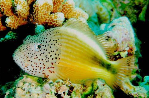 Forster's Hawkfish | Paracirrhites forsteri photo