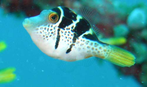 Mimic Leatherjacket | Paraluteres prionurus photo