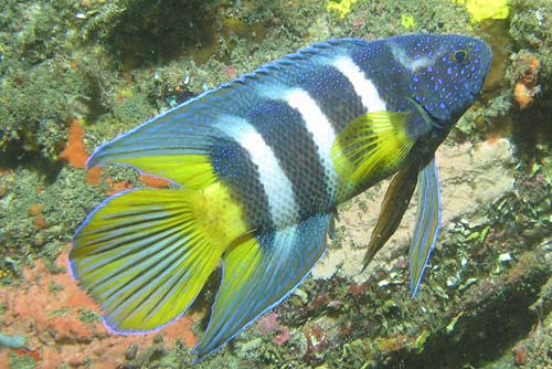 Eastern Blue Devil | Paraplesiops bleekeri photo