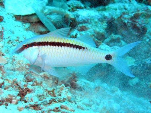 Dash-dot Goatfish | Parupeneus barberinus photo