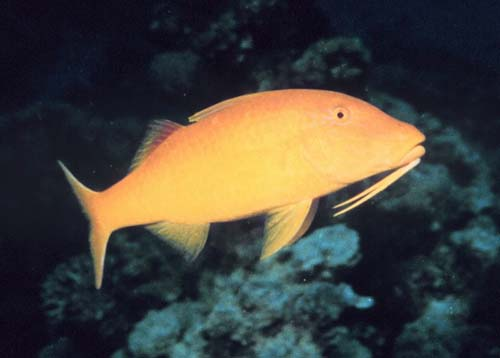 Goldsaddle Goatfish | Parupeneus cyclostomus photo
