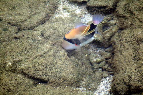 Wedge-tailed Triggerfish | Rhinecanthus rectangulus photo