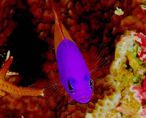 Two-tone Dottyback | Pseudochromis paccagnellae photo
