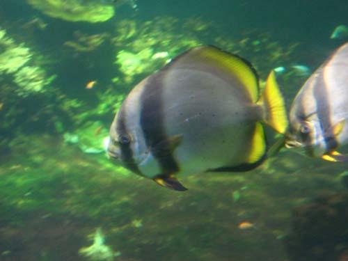 Longfin Batfish | Platax pinnatus photo