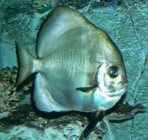 Teira Batfish | Platax teira photo