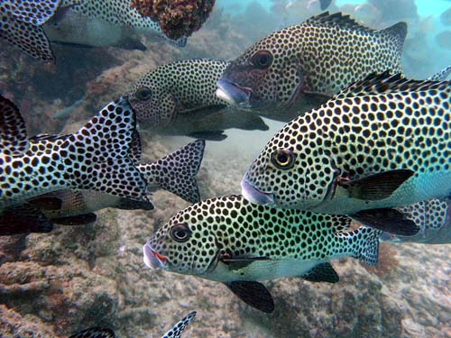 Harlequin Sweetlips | Plectorhinchus chaetodonoides photo
