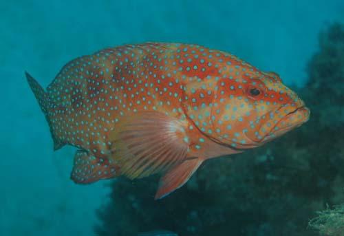 Coral Cod   Cephalopholis miniata photo