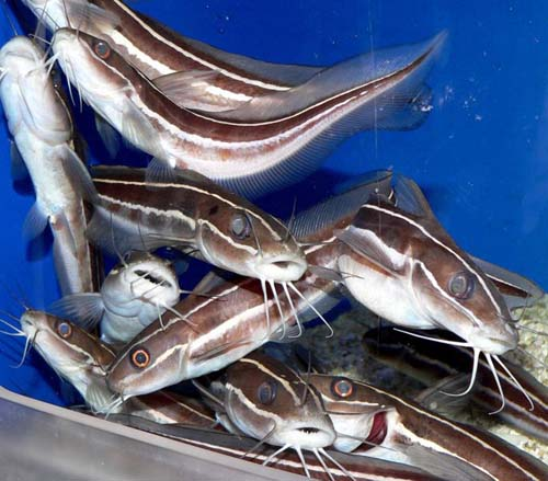 Striped Catfish | Plotosus lineatus photo