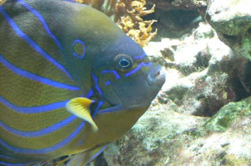 Blue-ringed Angelfish | Pomacanthus annularis photo