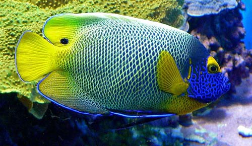 Blueface Angelfish | Pomacanthus xanthometopon photo