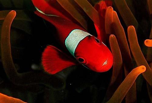 Spine-cheek Anemonefish | Premnas biaculeatus photo