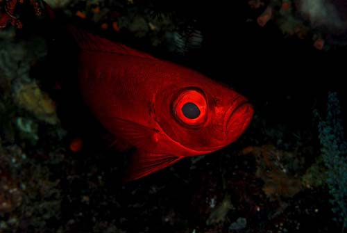 Crescent-tail Bigeye | Priacanthus hamrur photo
