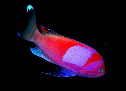 Squarespot Anthias | Pseudanthias pleurotaenia photo