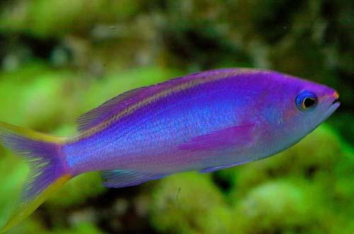 Purple Anthias   Pseudanthias tuka photo