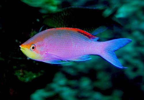 Purple Anthias | Pseudanthias tuka photo