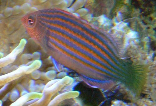Six-line Wrasse | Pseudocheilinus hexataenia photo