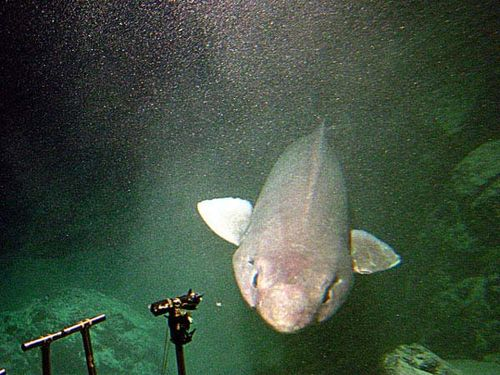 False Catshark | Pseudotriakis microdon photo