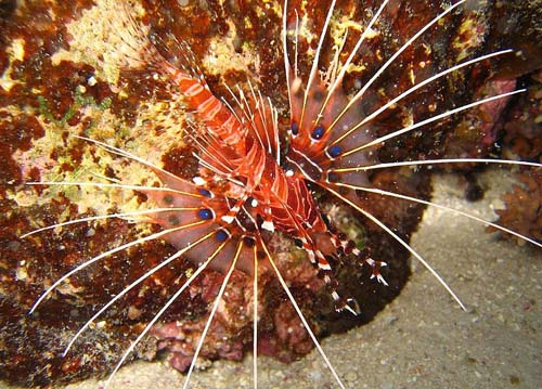 Spotfin Firefish | Pterois antennata photo