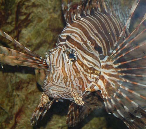 Common Lionfish | Pterois volitans photo