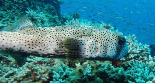 Black-spotted Porcupinefish | Diodon hystrix photo
