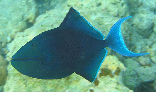 Redtooth Triggerfish | Odonus niger photo