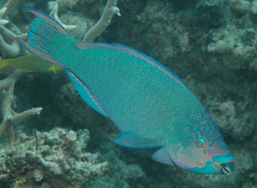 Minifin Parrotfish | Scarus altipinnis photo