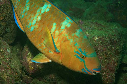 Blue-barred Parrotfish | Scarus ghobban photo