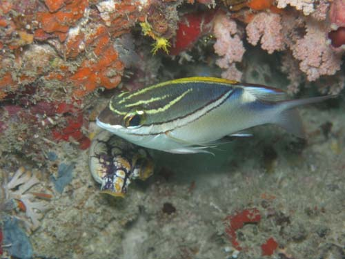 Two-line Monocle Bream | Scolopsis bilineata photo