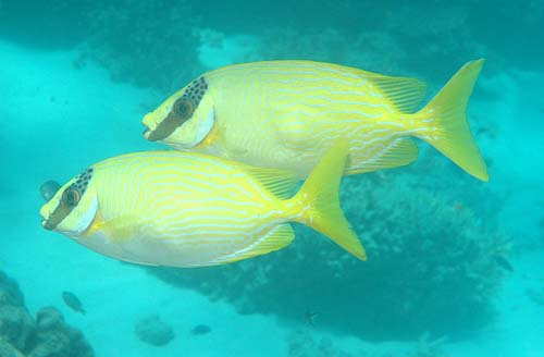 Blue-lined Spinefoot   Siganus puellus photo