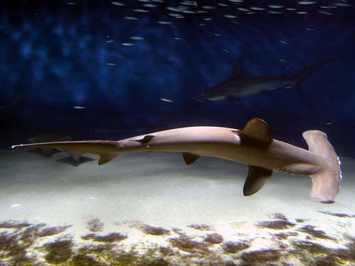 Scalloped Hammerhead | Sphyrna lewini photo