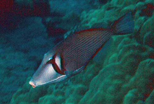Boomerang Triggerfish | Sufflamen bursa photo