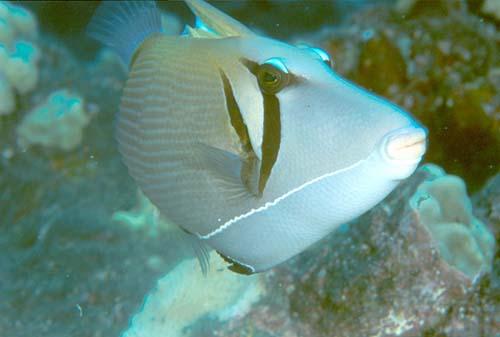 Boomerang Triggerfish | Sufflamen bursa photo