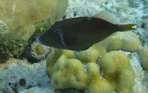 Black Triggerfish | Sufflamen chrysopterum photo