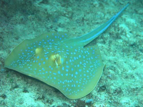 Blue-spotted Fantail Ray | Taeniura lymma photo