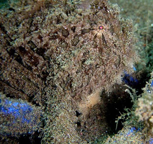 Blackspot Anglerfish | Tathicarpus butleri photo