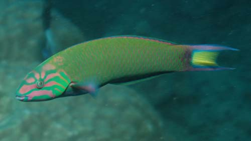 Moon Wrasse | Thalassoma lunare photo