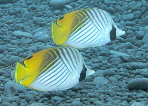 Threadfin Butterflyfish | Chaetodon auriga photo