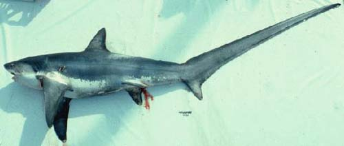 Thresher Shark | Alopias vulpinus photo