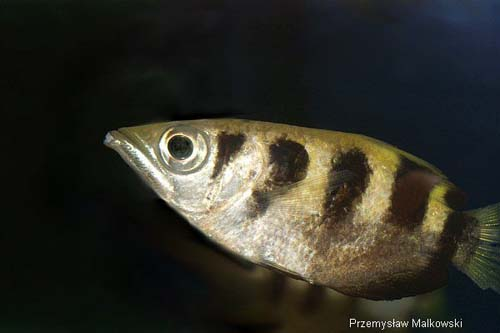 Seven-spot Archerfish | Toxotes chatareus photo
