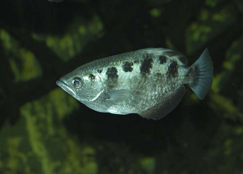 Banded Archerfish | Toxotes jaculatrix photo
